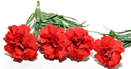horizontal position: Four red carnations in a horizontal position surrounded by white Stock Photo