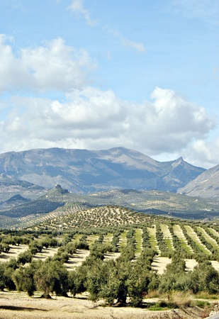 Olive groves in Jaen, Andalucia, with mountains and clouds skies Stock Photo