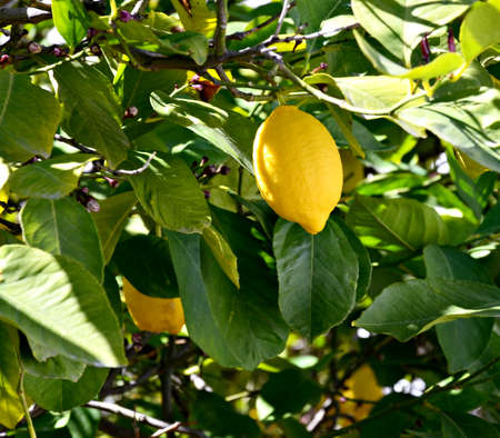 Lemon surrounded by leaves and branches Stock Photo - 13243857