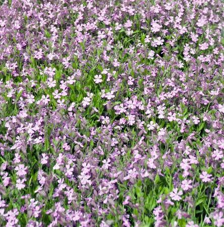 fondos violeta: Fondo de flores violetas y hojas verdes