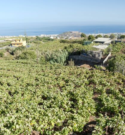 Fields of vineyards by the sea Stock Photo - 16972164