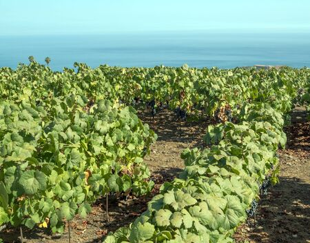 Fields of vineyards by the sea Stock Photo - 16972165