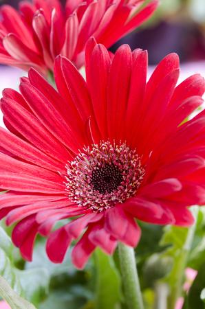 christmas perfume: Naturally beautiful flower red gerbera