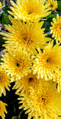 yellow:  yellow chrysanthemums