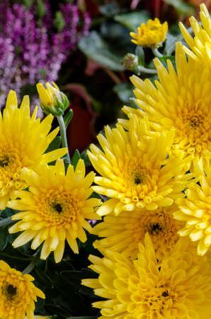 yellow: yellow chrysanthemums