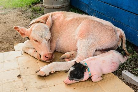 vaca: Las vacas y los cerdos est�n durmiendo Foto de archivo