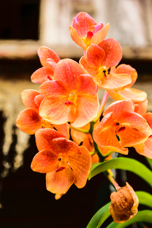 abloom: Orange orchids  Abloom nicely at Petchaburi Province in Thailand Stock Photo