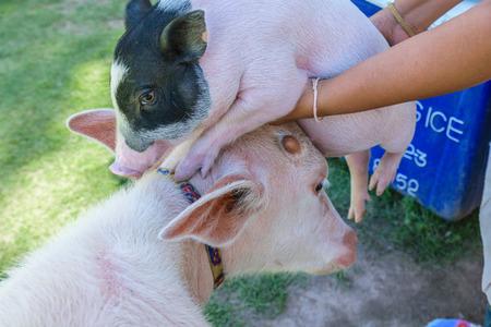 albino: Albino buffalo and cute little pig at Pattaya Sheep Farm