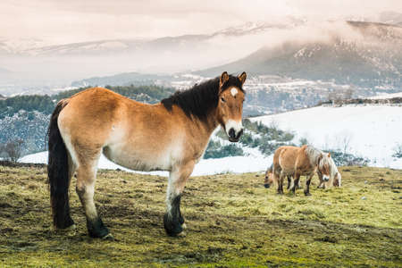 Wild brown horse standing in a field with other horses with the snowy Pyrenees in the background