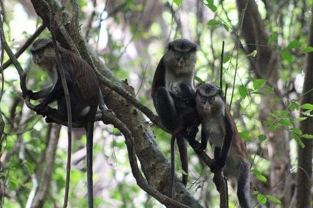 mona monkey family