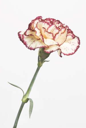 carnation isolated on white background Stock Photo