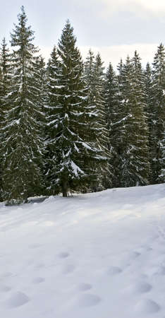winter forest mountains