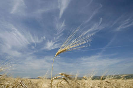 Golden wheat growing in a farm field