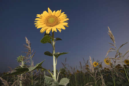 Field of sunflowers backlit by the sun
