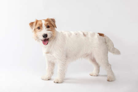 wirehair: Young dog Jack Russell terrier on the white background