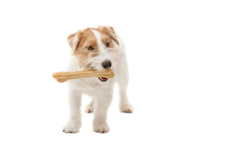 wirehair: Young dog Jack Russell terrier with bone on the white background Stock Photo