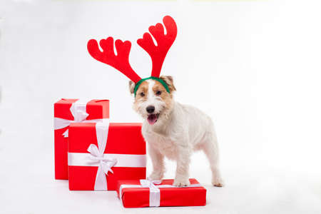 Young dog Jack Russell terrier with deer horns on his had and Christmas gifts on the white background Stock Photo