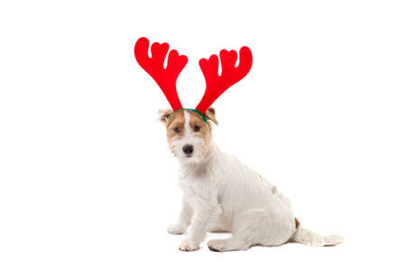 Young dog Jack Russell terrier with deer horns on his had on the white background