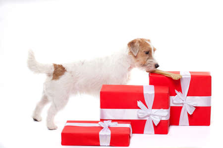 wirehair: Young dog Jack Russell terrier with Christmas gifts on the white background Stock Photo