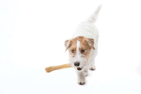 Young dog Jack Russell terrier with bone on the white background Stock Photo