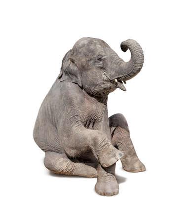 sit down: elefante sentarse aislado en el fondo blanco