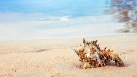 conch shell: conch shell on the sand at calmness seaside, relaxing feel