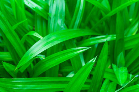 pandanus tree: Pandanus leaf, Asian aroma herb, green nature background
