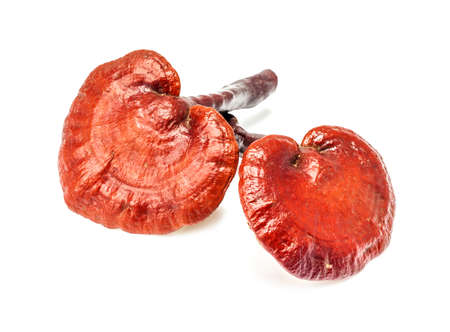 ganoderma lucidum mushroom, rare mushroom isolated on white background