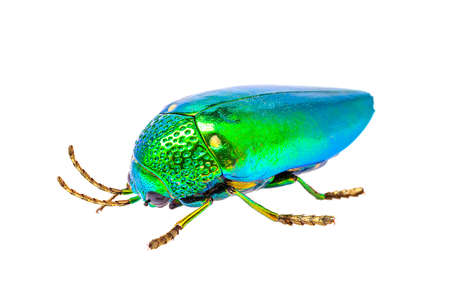 jewel beetle, beautiful bug isolated on white background