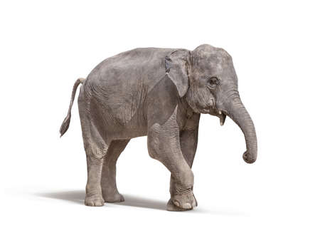elephant with out tusk isolated on white background with clipping path