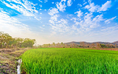 countryside landscape with green rice field in sunrise and cloudy blue sky