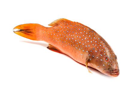 fresh coral trout or coral grouper fish isolated on white background