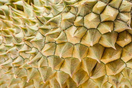 Thorn of Durian the most popular thai fruit in closeup shot Stock Photo