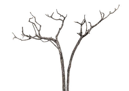 dead tree branch for design decorate isolated on white background