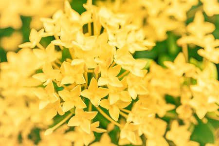selective focus of yellow ixora blooming flower