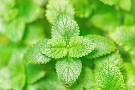 selective focus of lemon balm herbal natural plant leaves Stock Photo