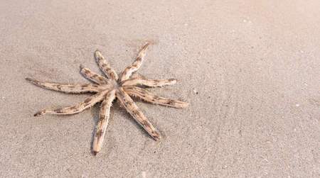 Luidia maculata Starfish strand on the beach, Luidia is a genus of starfish in the family Luidiidae are characterised by having long arms with pointed tips fringed with spines