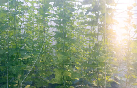 Green melons growing in cultivated curtain greenhouse with natural sunlight