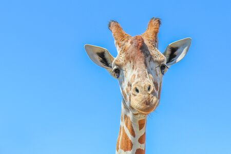 Reticulated giraffe (Giraffa camelopardalis reticulata) against a clear blue sky. 版權商用圖片