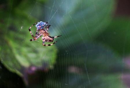 Garden Spider Stock fotó