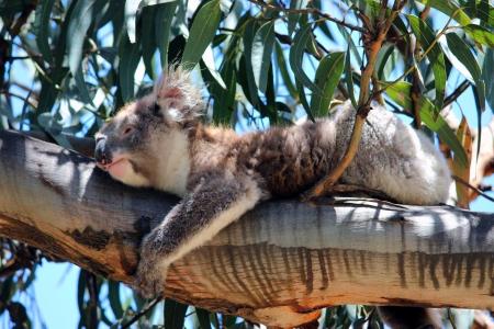 Koala Bear photo