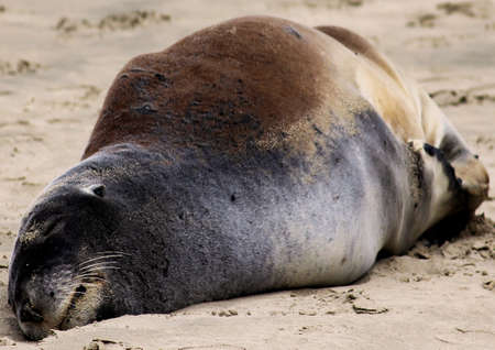 blubber: Sleeping Sealion Stock Photo