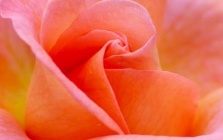 Peach Rose photo