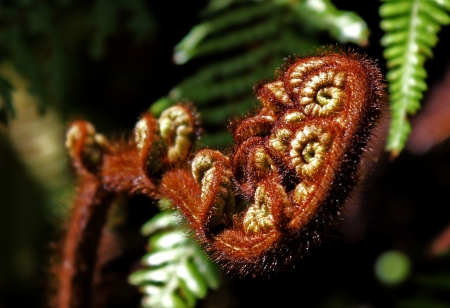 young fern buds spirals photo