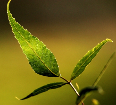 Sun light through leaf photo
