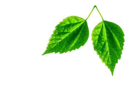 Two leaves with water drops isolated on white Stock Photo - 2689138