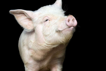 Portrait of a cute pig, on black background Stock Photo - 3137759
