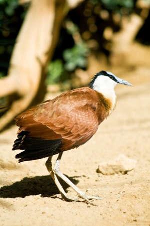 jacana: African jacana - strange bird with huge feet