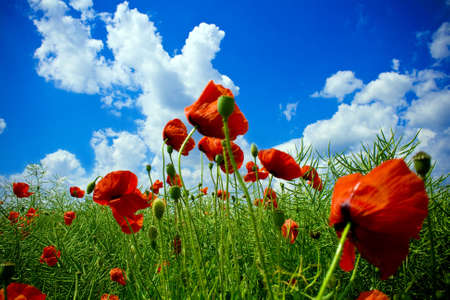 Close-up on red poppies in beautiful green field