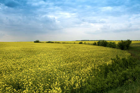 Field of yellow rape flowers and blue cloudy sky Stock Photo - 3789090